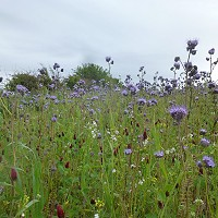 Wild bird /bee mixes bring early summer colour to the fields at Mulgrave